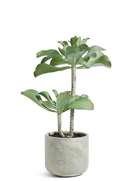 Double Head Succulent in Concrete Pot