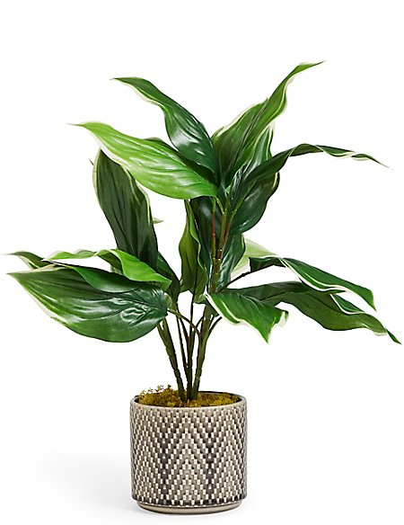 Medium Hosta Plant in Ceramic