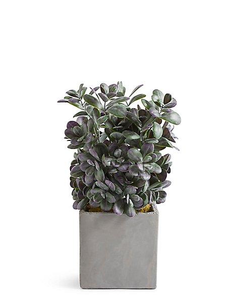 Boxwood Bush in Slate Pot