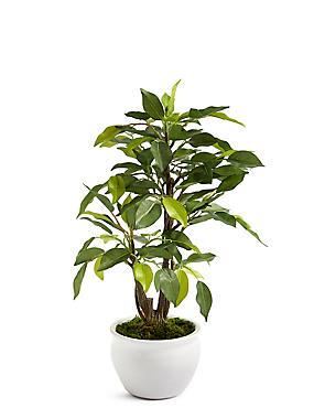 Ficus Tree in Ceramic