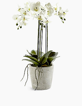 Large Orchid in Ceramic Pot
