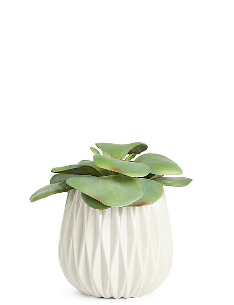 Elephant Ear Succulent in Ceramic Pot