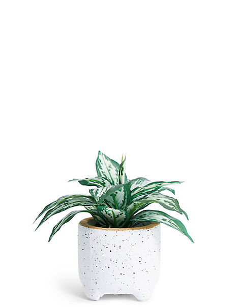 Mini Croton Pot