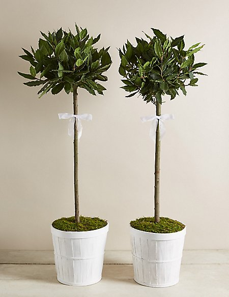 Pair of Wedding Bay Tree Standards