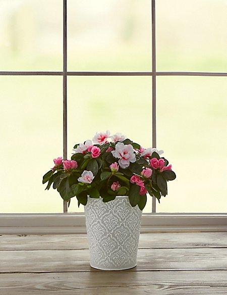 Pink Azalea Tin
