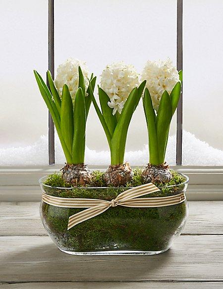 Christmas Hyacinth Trough