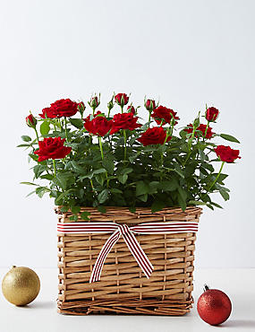 Red Christmas Cyclamen Basket (Available for delivery from 15th November 2018)