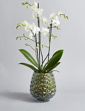 The Collection Multifloral Triple Stem Orchid