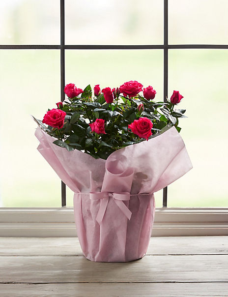 Large Gift Wrapped Rose (Delivery from 16th March 2020)