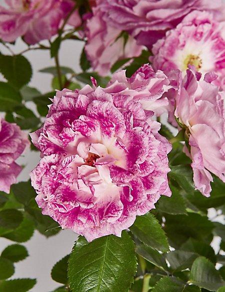 Birthday Girl Pink Rose Plant