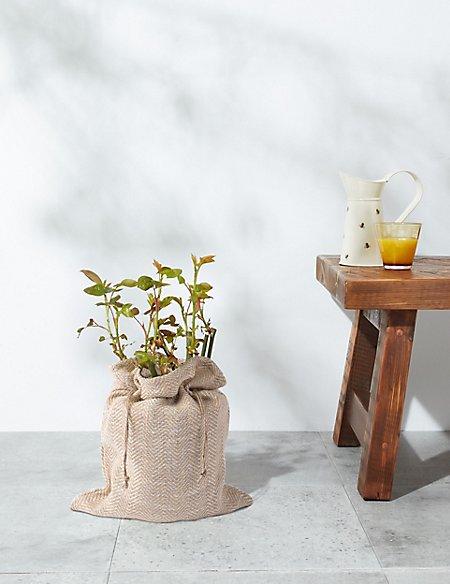 Sweet Memories Rose Plant