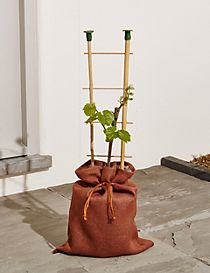 Grape Vine Tree (Free Swiss Chocolates worth £6 for a limited time)