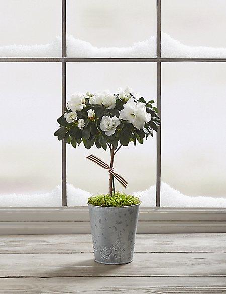 White Sparkling Christmas Azalea
