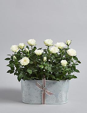Christmas Rose Trough
