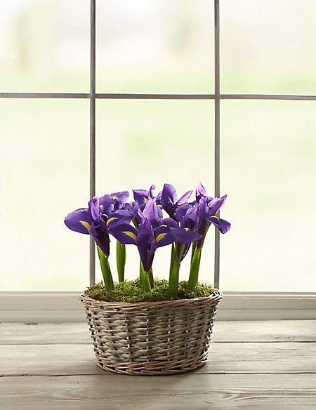 Spring Iris Basket