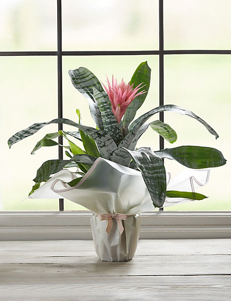 Vibrant Gift Wrapped Bromeliad