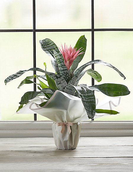 Vibrant Gift Wrapped Bromeliad House Plant