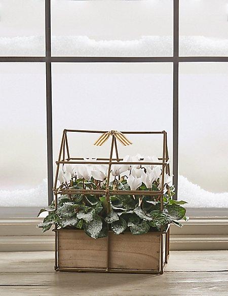 Festive Cyclamen House Plant