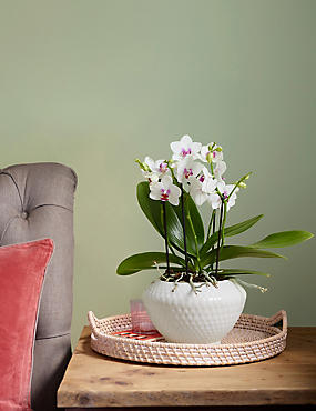 The Collection Bi-Coloured Orchid House Plant