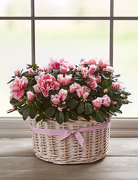 Pink Azalea Basket