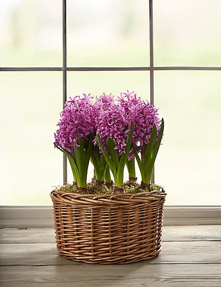 Pink Hyacinth Basket