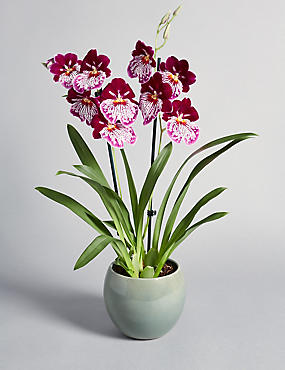 Miltonia Orchid Free Delivery