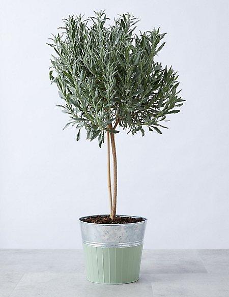 Garden Lavender Tree