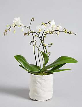 Letterbox Orchid