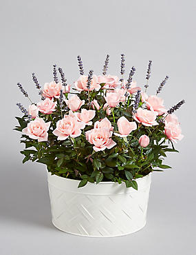 Scented Rose & Lavender House Plant