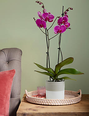 Potted Vibrant Tinted Orchid