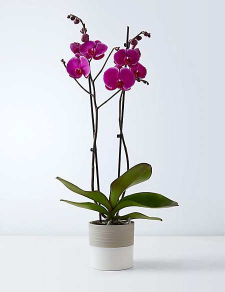 Vibrant Tinted Orchid House Plant