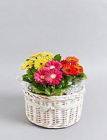 Vibrant Gerbera Basket