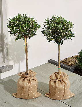 Pair of Olive Trees