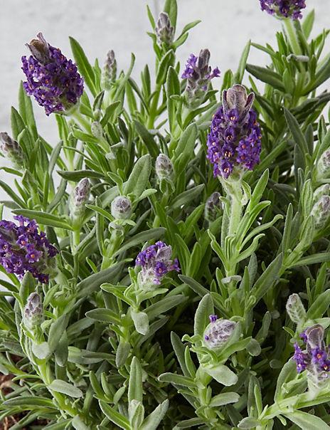 Flowering Lavender Watering Can