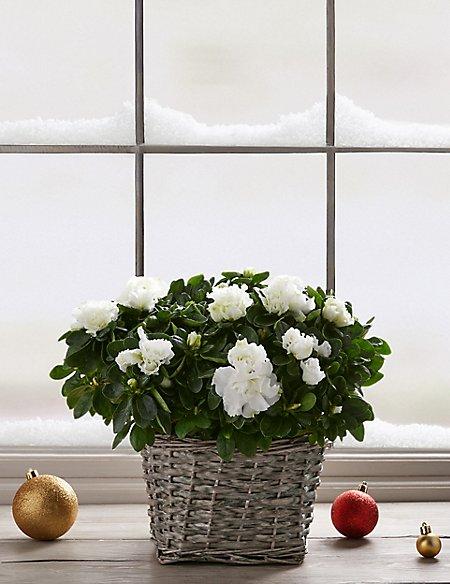 Large Christmas Gift Wrapped Azalea