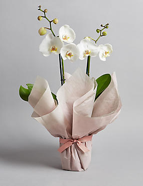 Gift Wrapped Orchid House Plant