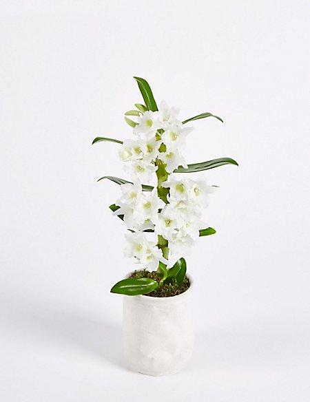 Postal Dendrobium