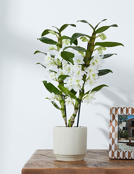 White Dendrobium Orchid House Plant