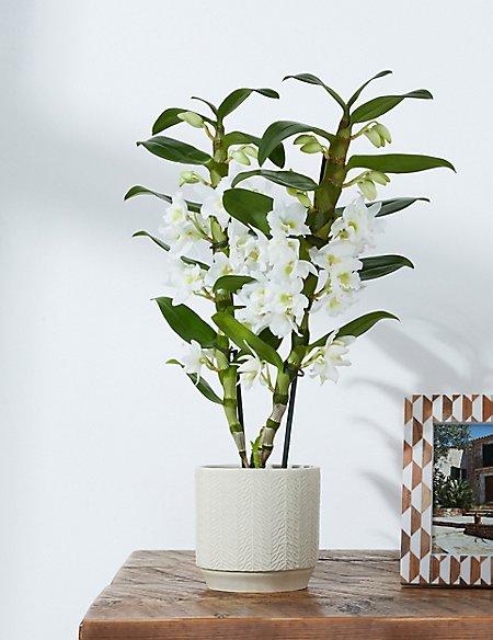 White Dendrobium Orchid House Plant