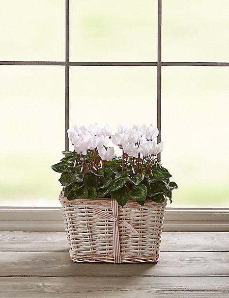 White Cyclamen Basket