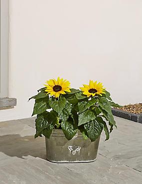 Summer Sunflower Planter