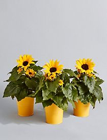 Windowsill Sunflower Trio (Free Swiss Chocolates worth £6 for a limited time)