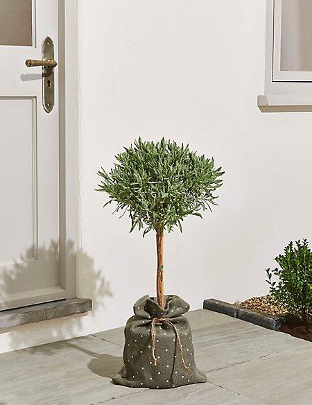 Garden Lavender Tree – New Lower Price