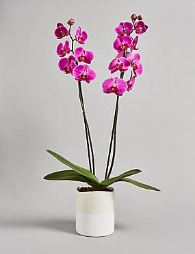 Twin-Stemmed Phalaenopsis Orchid