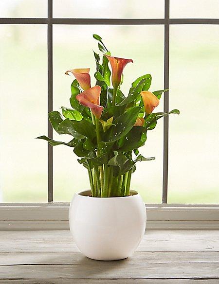 Calla Lily in Decorative Plant Pot