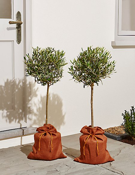 Pair of Garden Olive Trees (Available for delivery from 29th Aug 2018)