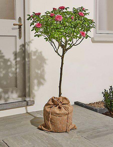 Large Patio Rose Tree