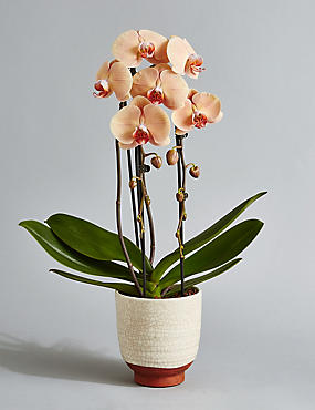 Double Cascade Orchid