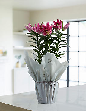 The Collection Gift-Wrapped Oriental Lily Plant