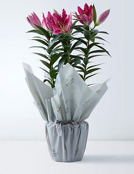 The Collection Gift-Wrapped Oriental Lily